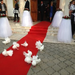 Porumbei nunta 10 voltati, 4 voiajori si covor rosu 250 lei